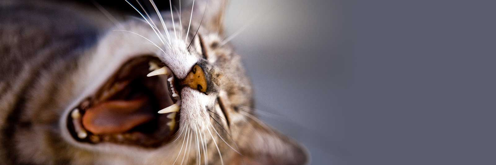 Feline Dental Disease Feline Friends